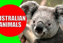 Australian animals for kids
