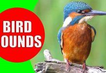 bird sounds video