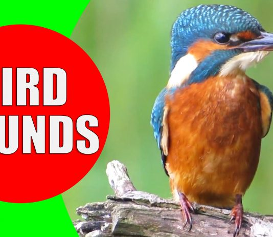bird sounds video