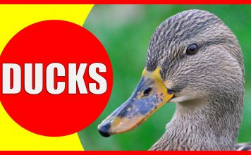 duck facts