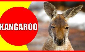 kangaroo facts for kids