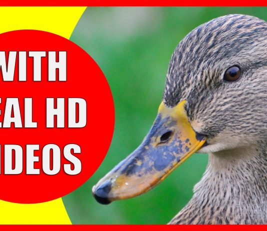 Video about duck facts