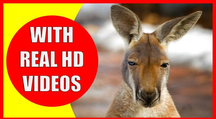 kangaroo facts for kids