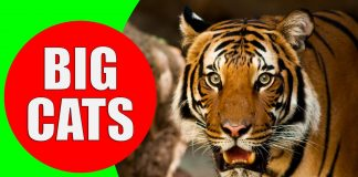 big cats for children