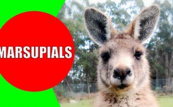 marsupials for kids