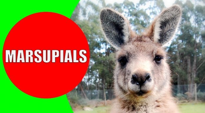 marsupials for kids