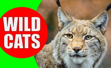 wild cats for kids