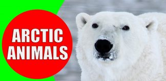 arctic animals for kids