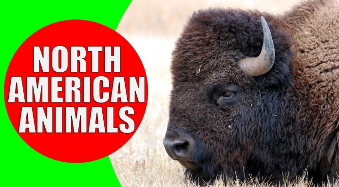 north american animals for kids